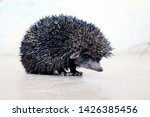 Hedgehog Is A Spiny Mammal One...