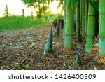 Young Bamboo Sprouts At...