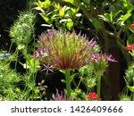 Allium Flower And Seedheads...