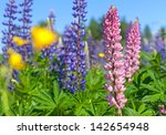 Colorful Lupines Flowers Grow...