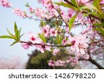spring blooming fresh cherry... | Shutterstock . vector #1426798220