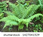 Dryopteris Affinis  Scaly Male...