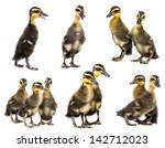 cute ducklings isolated on a... | Shutterstock . vector #142712023