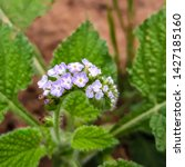 Small photo of Indian heliotrope, devil weed, scorpion weed