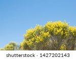 Spartium Junceum  A Deciduous...