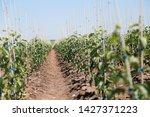 Nursery Of Seedlings. Field Of...