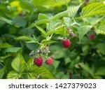 Red Raspberry Berries Hang On...