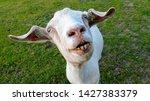 Photo Of Weird Looking Goat
