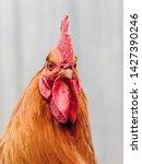 Portrait Of An Orange Cock...