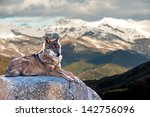 iberian wolf lying on rocks on... | Shutterstock . vector #142756096