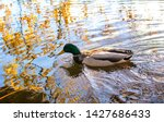 Male mallard in the water of Lake Kuusijärvi, Vantaa, Finland