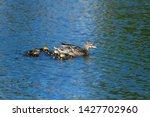 Mallard Hen with ducklings swimming on lake
