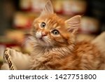 Stock photo funny cute little red kitten 1427751800
