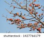 Tree  Bombax Ceiba. Family ...