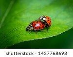 Two Ladybugs  Coccinellidae ...