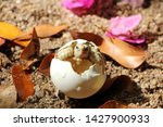 Stock photo africa spurred tortoise are born naturally tortoise hatching from egg cute portrait of baby 1427900933