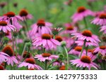 Purple Coneflower And Pink...