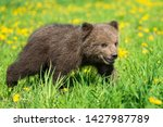 Brown Bear Cub Playing On The...