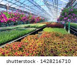 inside the greenhouse  in the... | Shutterstock . vector #1428216710