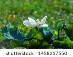 beautiful white lotus flower in ... | Shutterstock . vector #1428217550