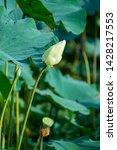 beautiful white lotus flower in ... | Shutterstock . vector #1428217553
