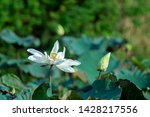 beautiful white lotus flower in ... | Shutterstock . vector #1428217556