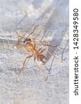 close up of ant running on...   Shutterstock . vector #1428349580