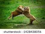 Two Lions Fighting Each Other...