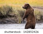 Grizzly Bear Standing In A...