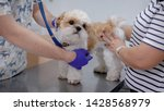 Stock photo vet checking dog s health with it s owner in a clinic cute purebred dog on a table 1428568979