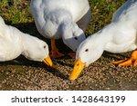 Heavy White Ducks  Pekin Duck...