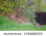 An Eastern Cottontail Rabbit...