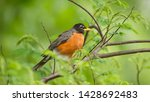 American Robin Perched On A...