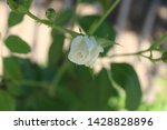Little Baby White Rose All...