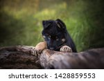 Stock photo sweet look of a bohemian shepherd puppy on a tree trunk cute puppies 1428859553
