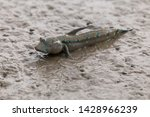 Mudskipper Or Amphibious Fish...