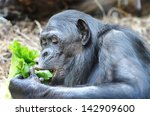 Chimpanzee Eats Greenery