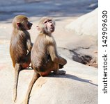 Two Young Baboon Monkeys