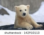 Stock photo portrait of a polar bear baby in a tired tire 142910113