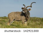 Greater Kudu Antelope Male