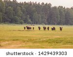 Wild European Bisons In The...