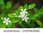 tabernaemontana divaricata... | Shutterstock . vector #1429463960