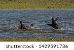 Fighting Coots In The Water