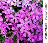 Small photo of Macro photo nature lilac wild Phlox subulata flower. Texture background blooming Phlox subulata wildflower