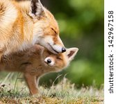 Stock photo red fox cub and mother 142967158