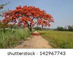 Royal Poinciana Tree And Path...