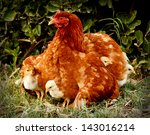 mother hen and protecting chicks | Shutterstock . vector #143016214