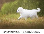 Stock photo white shepherd puppy is running on the meadow berger blanc suisse cute puppy 1430202539