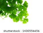 ginkgo biloba green leaves on a ... | Shutterstock . vector #1430556656