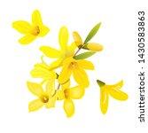Forsythia Suspensa Flowers...
